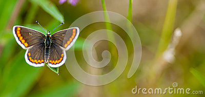 Male brown argus butterfly
