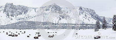 Panoramic view of buffalos in winter in Yellowstone Park