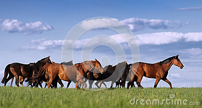 Herd of horses in the pasture rides on the beautiful background