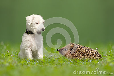 Parson Jack Russell Terrier and hedgehog