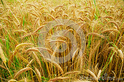 Triticale, a hybrid of wheat and rye.
