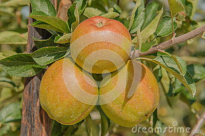 Agriculture - Fruits