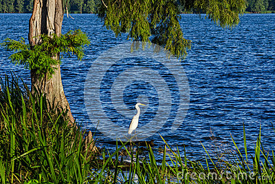 Snowy Egret, Reelfoot Lake, Tennessee