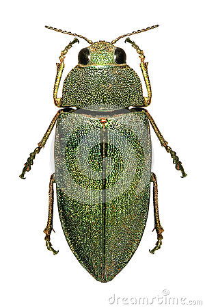Middle Eastern jewel beetle