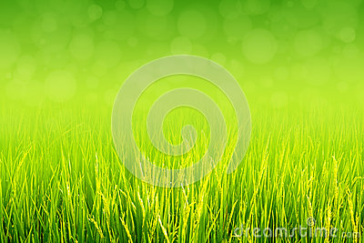 Lush green paddy in rice field. Spring and Summer Background