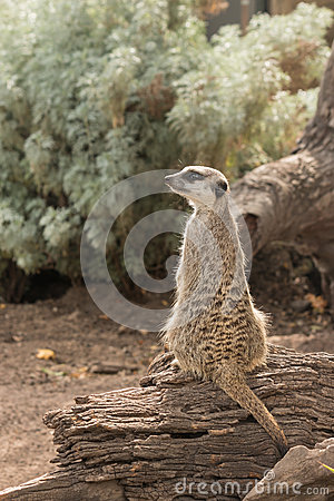 Guarding meerkat sitting on tree trunk
