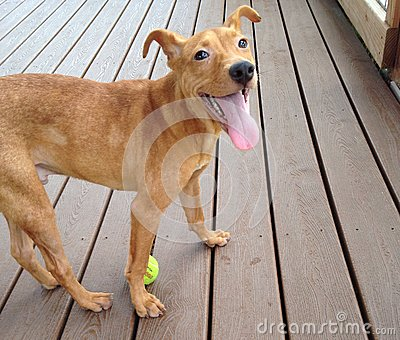 Young brown dog with tennis ball sticking tongue o