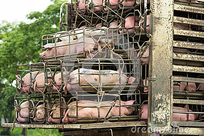 stock image of transport pigs