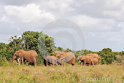 Elephant herd, Addo Elephant National park, South Africa