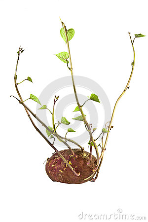 Sprouting Sweet Potato Plant Ready for Planting
