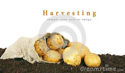 Harvesting. A potato in a bag on earth.