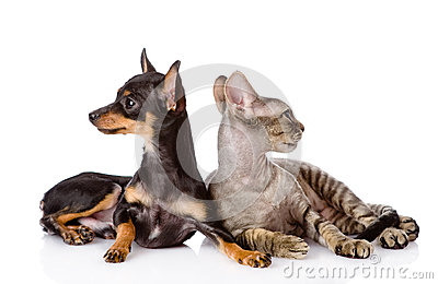 Devon rex cat and toy-terrier puppy together. looking away. isol