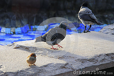 Black raven and pigeon walking on the stone