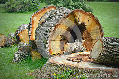 Large Fallen Tree Stump