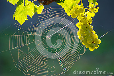 Green Wine Grape And Spider Web