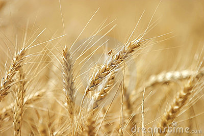 Golden wheat growing in a farm field
