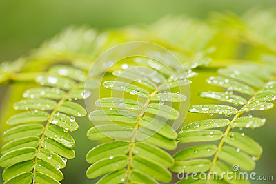Drop water on leaves after rain