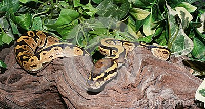 Fire Royal Python hatchling in foliage