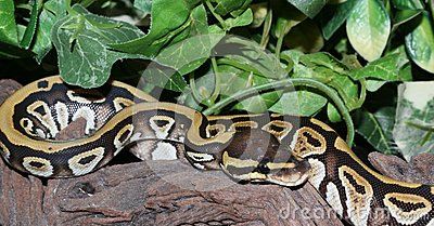 Phantom Royal Python hatchling in foliage