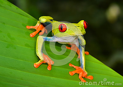 Red eye tree frog green leaf, cahuita, costa rica