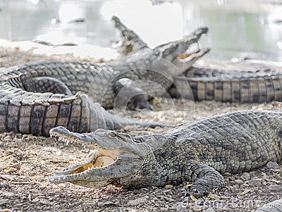Three American crocodile