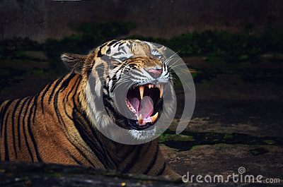 Tiger Roar Warning Attack