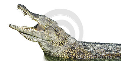 Large American crocodile with open mouth