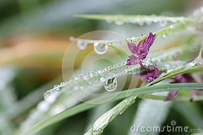 Morning dew drops on grass and flower