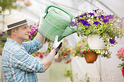 Side view of middle-aged man watering flower plants in greenhouse