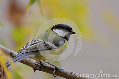 Great tit (Parus major).