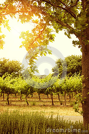 Rows of grapevines with sun through tree