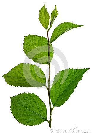 Green branch with leaf isolated
