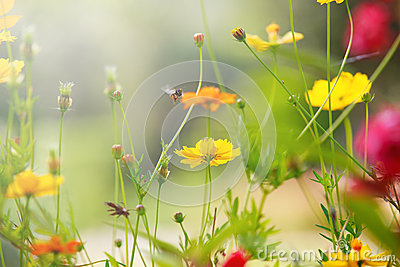 Beautiful light with yellow cosmos flowers field with shallow depth of field use as natural background,backdrop