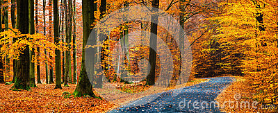 View of asphalt road in beautiful golden beech forest during autumn