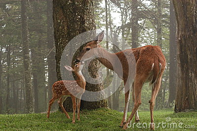 Doe and fawn rubbing noses