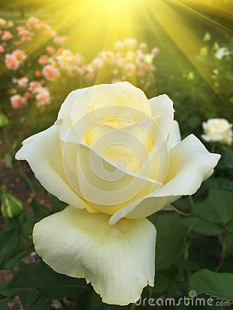 Yellow rose in the garden with sun rays
