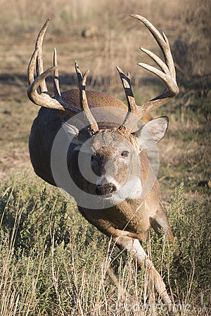 The rut is on for whitetail deer