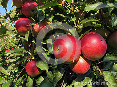 Close-up of beautiful ripe red apples on an apple tree