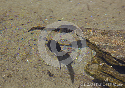 Tadpoles and their shadow swim in the pond