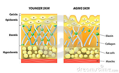 Younger skin and older skin