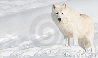 Arctic Wolf in Snow