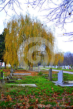 Willow in graveyard