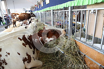 Cows - Sydney Royal Easter Show