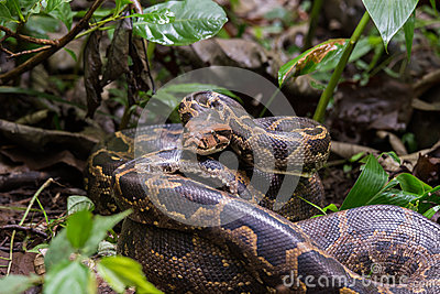 Indian Rock Python closeup