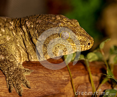 Fantastic close-up portrait of tropical gecko. Selective focus,