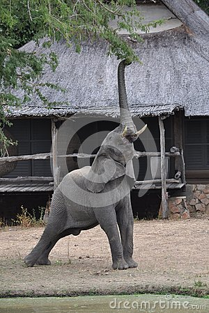 Elephant reaching for branch
