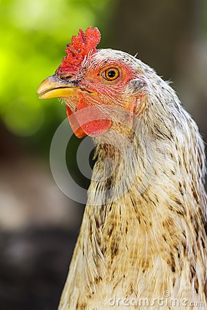 Chicken portrait