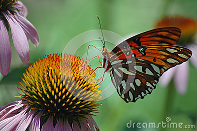 Monarch Butterfly on Purple Echinacea Plant