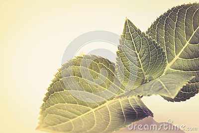 Sepia color tone of beautiful green leaf branch