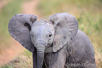 Cute Baby Elephant walking through a field in Kruger National Park